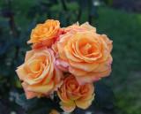 IMG_6129 Roses taken by daughter *