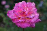 IMG_6121 Rose taken by daughter *