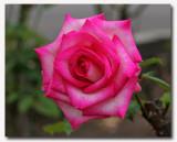 IMG_5538 Pink