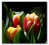 IMG_4616 Tulips