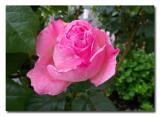CR2_0737  A rose