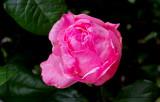 CR2_4798  Pink