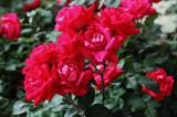 IMG_4890 Roses  ...