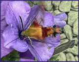 Sphinx moth or Clearwing Hummingbird moth