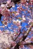 Cheery Blossom, Washington DC