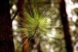 Pine Tree Estate