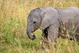 Kenya - Masai Mara - Baby Elephant