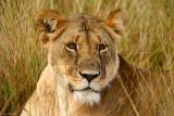 Masai Mara - Lioness