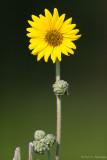 Sunflower in sun