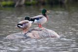 Ducks on a rock