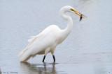 Egret with crayfish