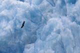 Glacier Eagle!