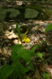 Cypripedium parviflorum var. pubescens- Greater Yellow Lady's Slipper