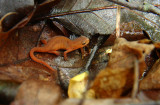Red Eft (Red-spotted Newt)