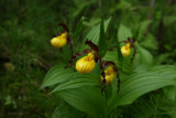 Cypripedium parviflorum var. Makasin- Small Yellow Lady's Slipper