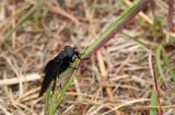Black Horsefly (female)