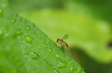Syrphid Fly (I think)