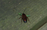 Wood roach eating a caterpillar!:p