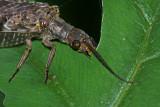 Fishfly