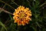 Platanthera ciliaris- Orange Fringed Orchid