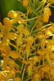 Platanthera x bicolor- Bicolor Fringed Orchid