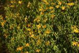 Hypericum denticulatum- Coppery St. John's Wort