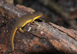 Red-spotted Newt