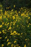Helianthus giganteus (Giant Sunflower)