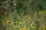 Monarchs on Giant Sunflower