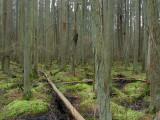 Atlantic White Cedar Swamp