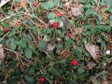 Mitchella repens (Partridgeberry)
