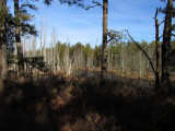 The Pine Barrens (Wading River)