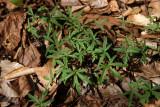 Dentaria (Cardamine) laciniata- Cutleaf Toothwort