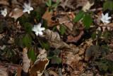 Anemone quinquefolia- Wood Anemone