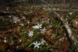 Claytonia virginica- Spring Beauty