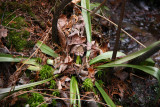 Helonias bullata- Swamp Pink