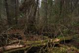 Helonias bullata- Swamp Pink (habitat)