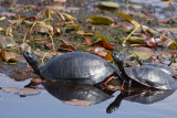 Red-bellied Turtles with Painted Turtle