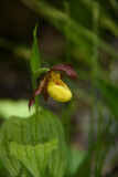 Cypripedium parviflorum var. makasin- Fen Small Yellow Lady's Slipper