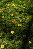 Ranunculus flabellaris- Yellow Water Buttercup