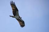 Osprey parent