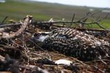 Osprey chick