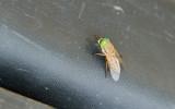 Greenhead Fly (Salt Marsh Horsefly)