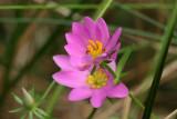 Sabatia dodecandra- Marsh Rose Gentian