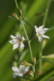 Lythrum lineare- Wand Loosestrife