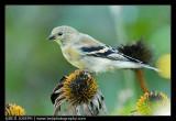 Avian 7