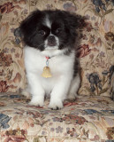 Princess...Our New Pekingese Puppy...And The Kitty Too Of Course