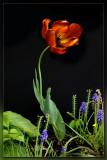 Tulip on Black