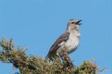 Mockingbird - Cape Cod_5560.jpg