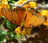 Gulf Fritillary - Agraulis vanillae